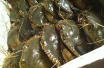 Fresh soft shelled crabs